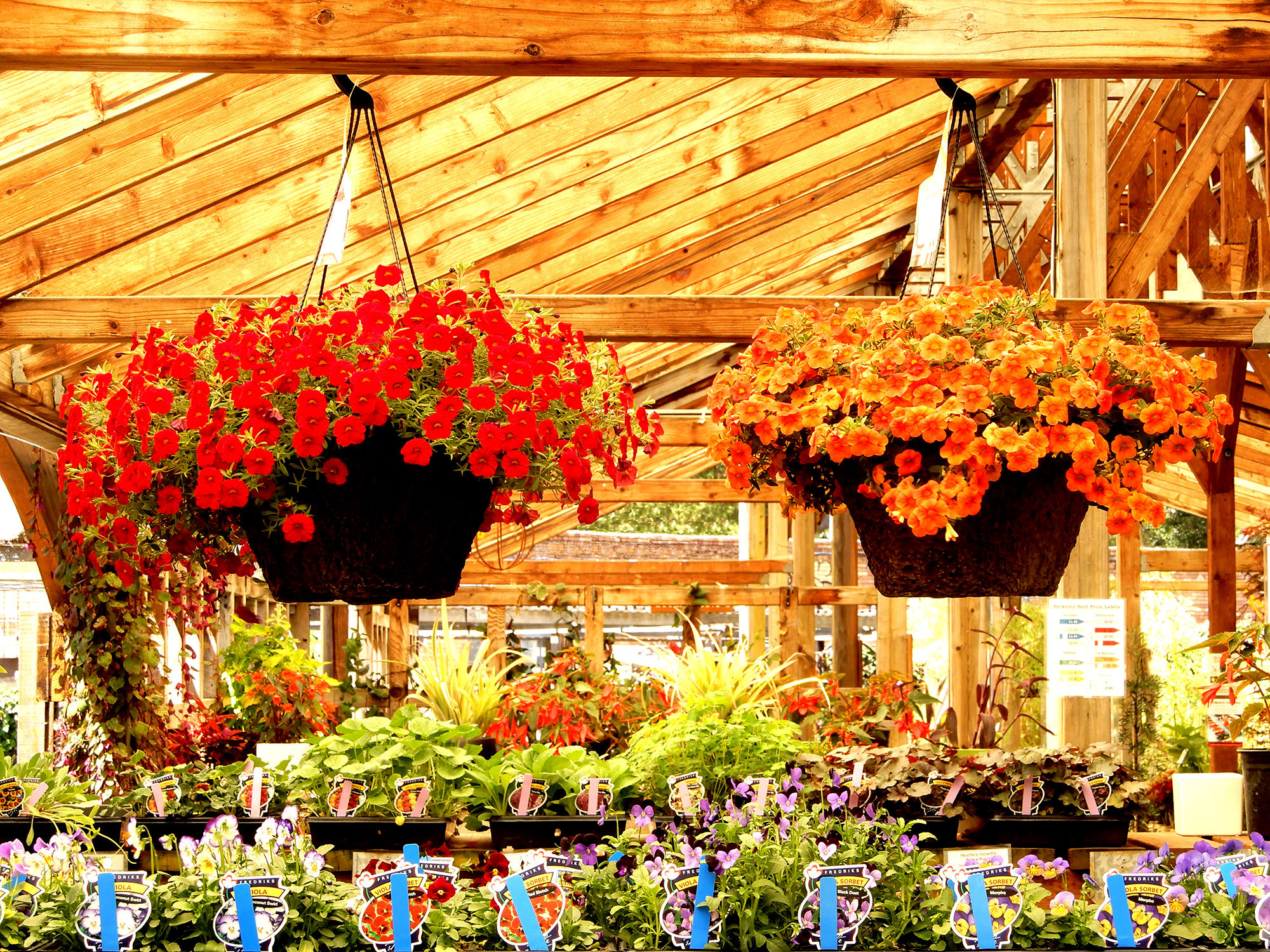 Hanging Baskets - Photo by Helen Krayenhoff