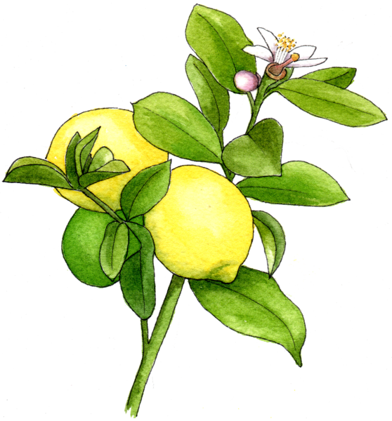 Lemon - Illustration by Helen Krayenhoff