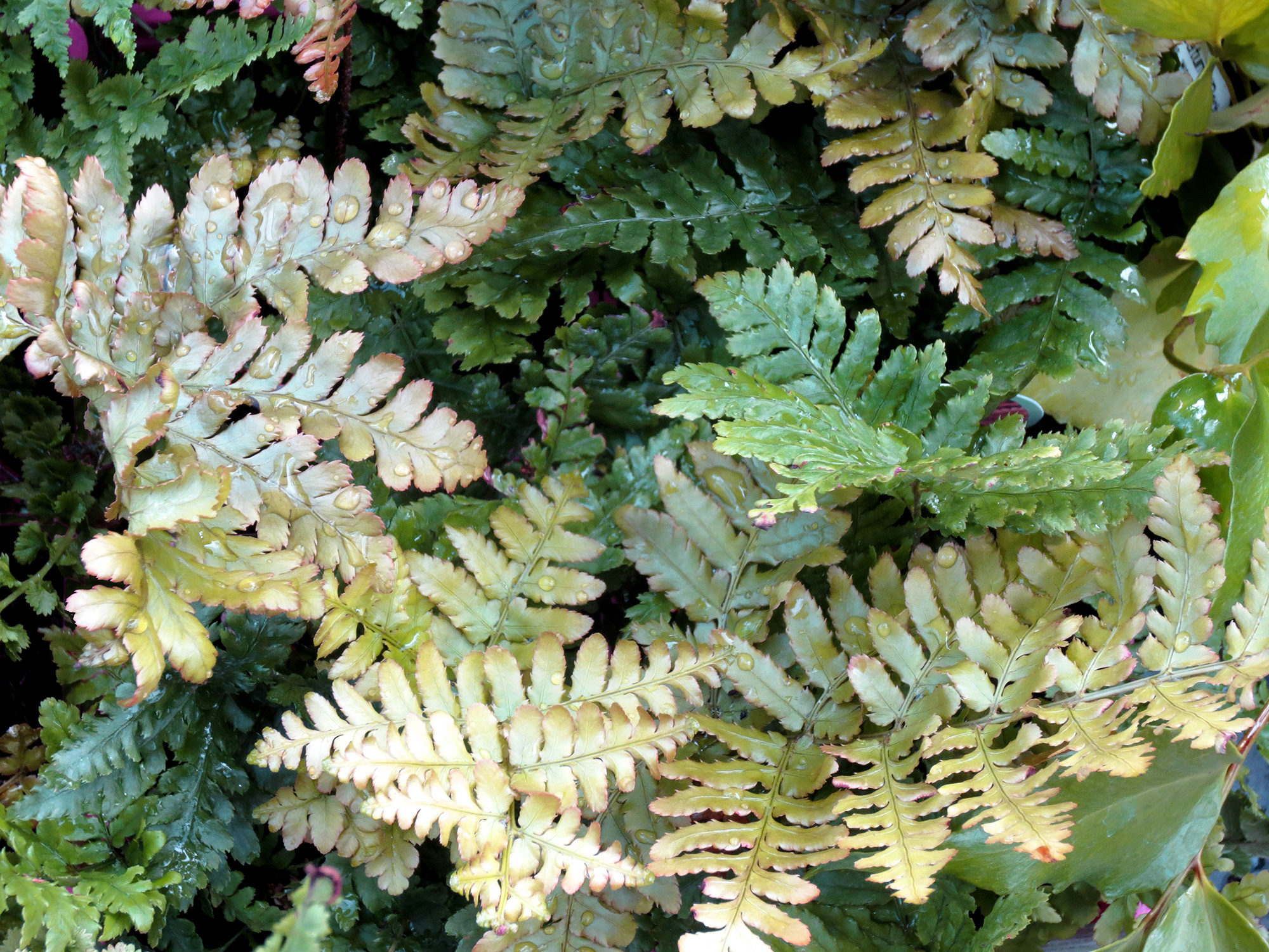 Ferns For The Low Water Garden