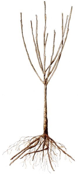 bare-root-tree