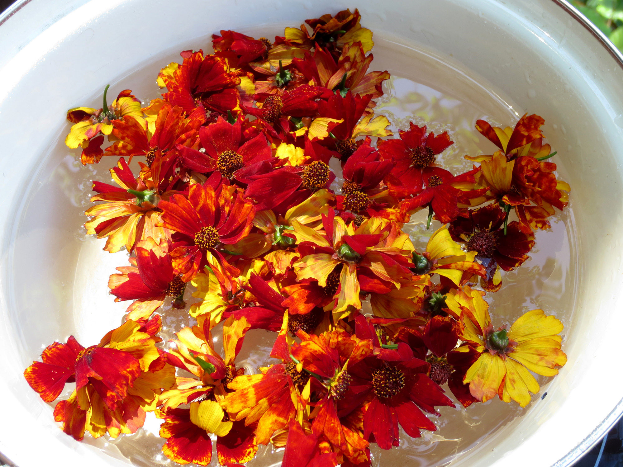 Natural dye from coreopsis by Helen Krayenhoff