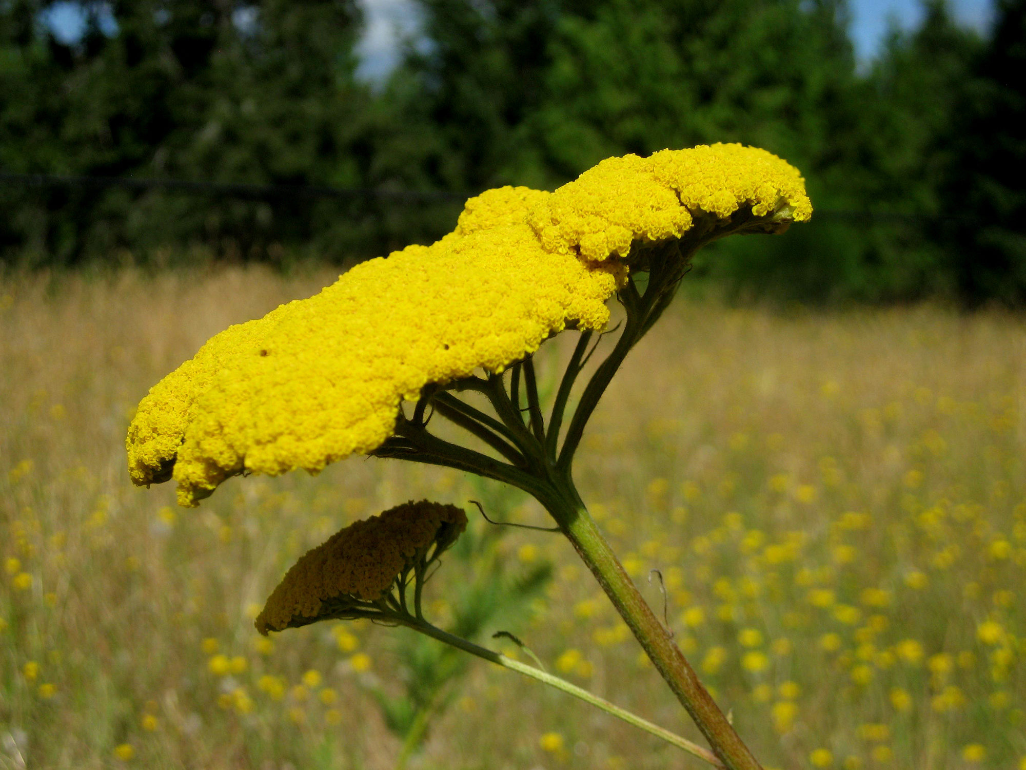 Tansy - Photo by Helen Krayenhoff