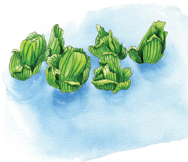Water Plants - Illustration by Helen Krayenhoff