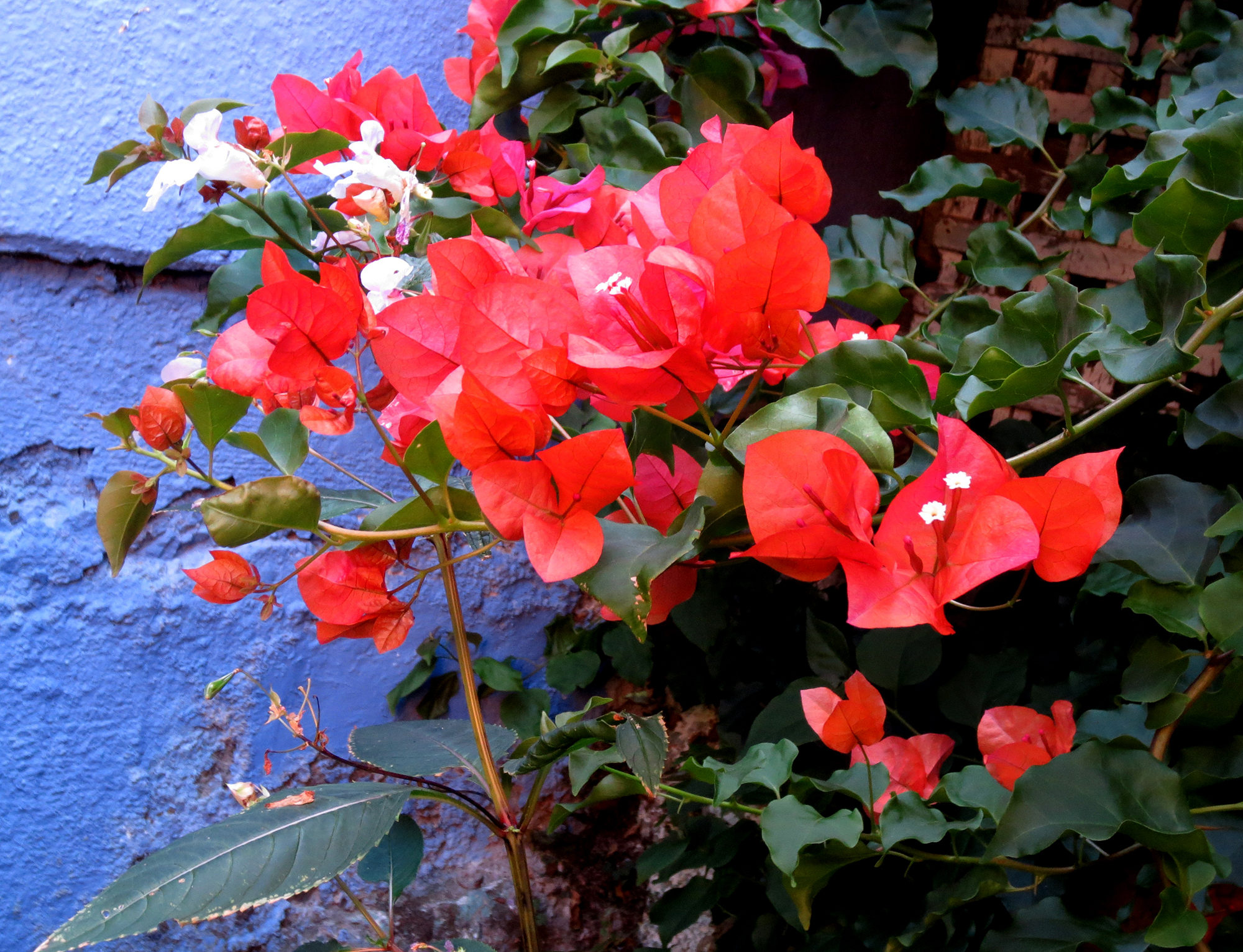 bougainvillea - Photo by Helen Krayenhoff