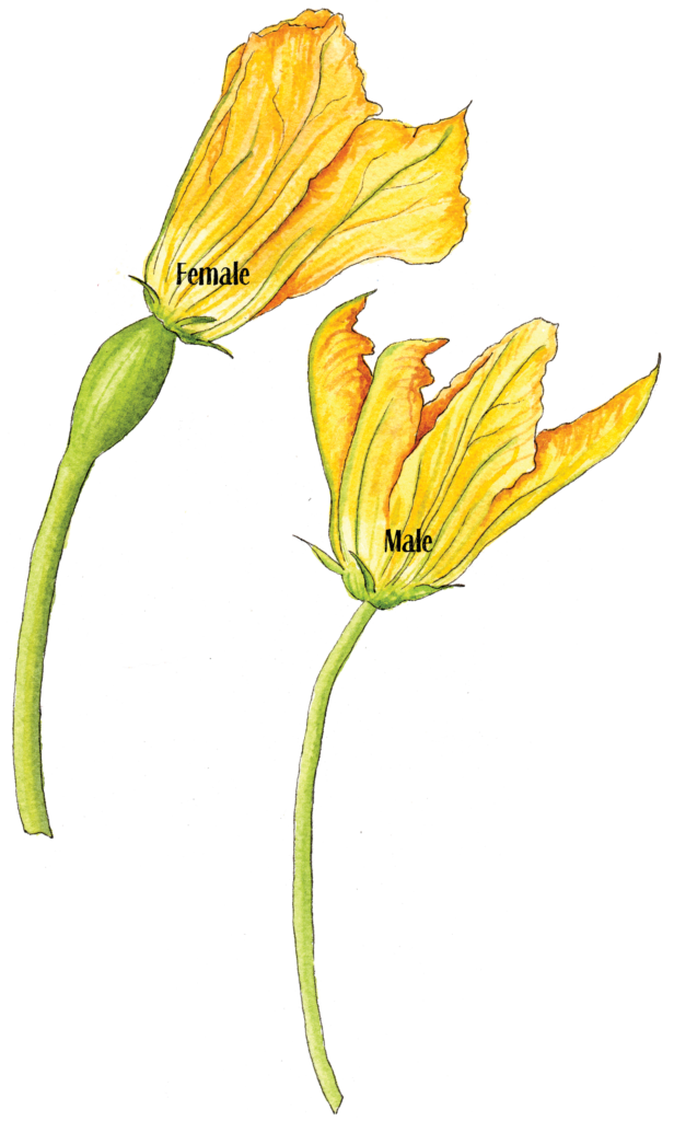 squash flower Female Male - Illustration by Helen Krayenhoff