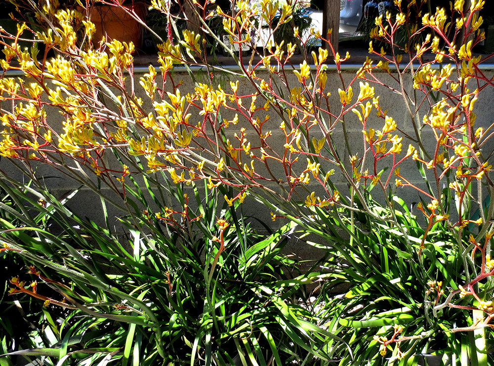 anizoganthus - Photo by Helen Krayenhoff
