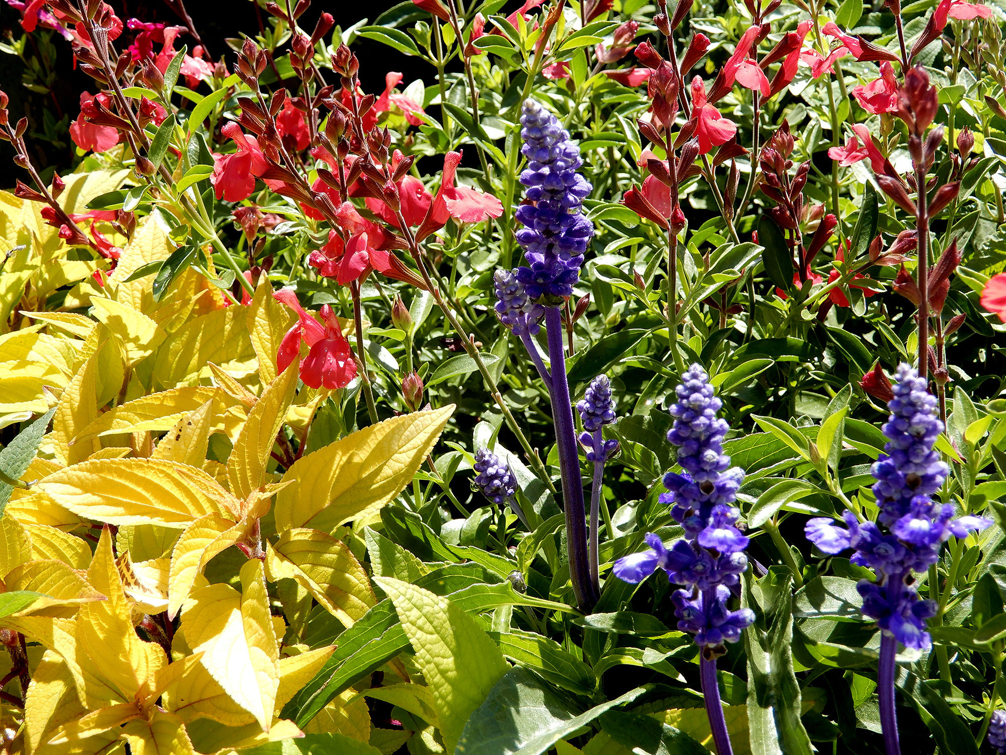mixed salvias - Photo by Helen Krayenhoff