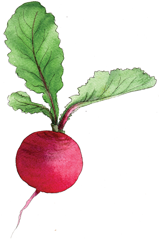 Radish - Illustration by Helen Krayenhoff