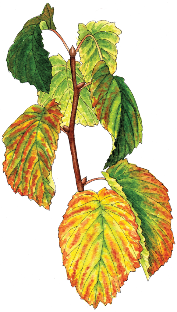 Davidia involucrata - Illustration by Helen Krayenhoff