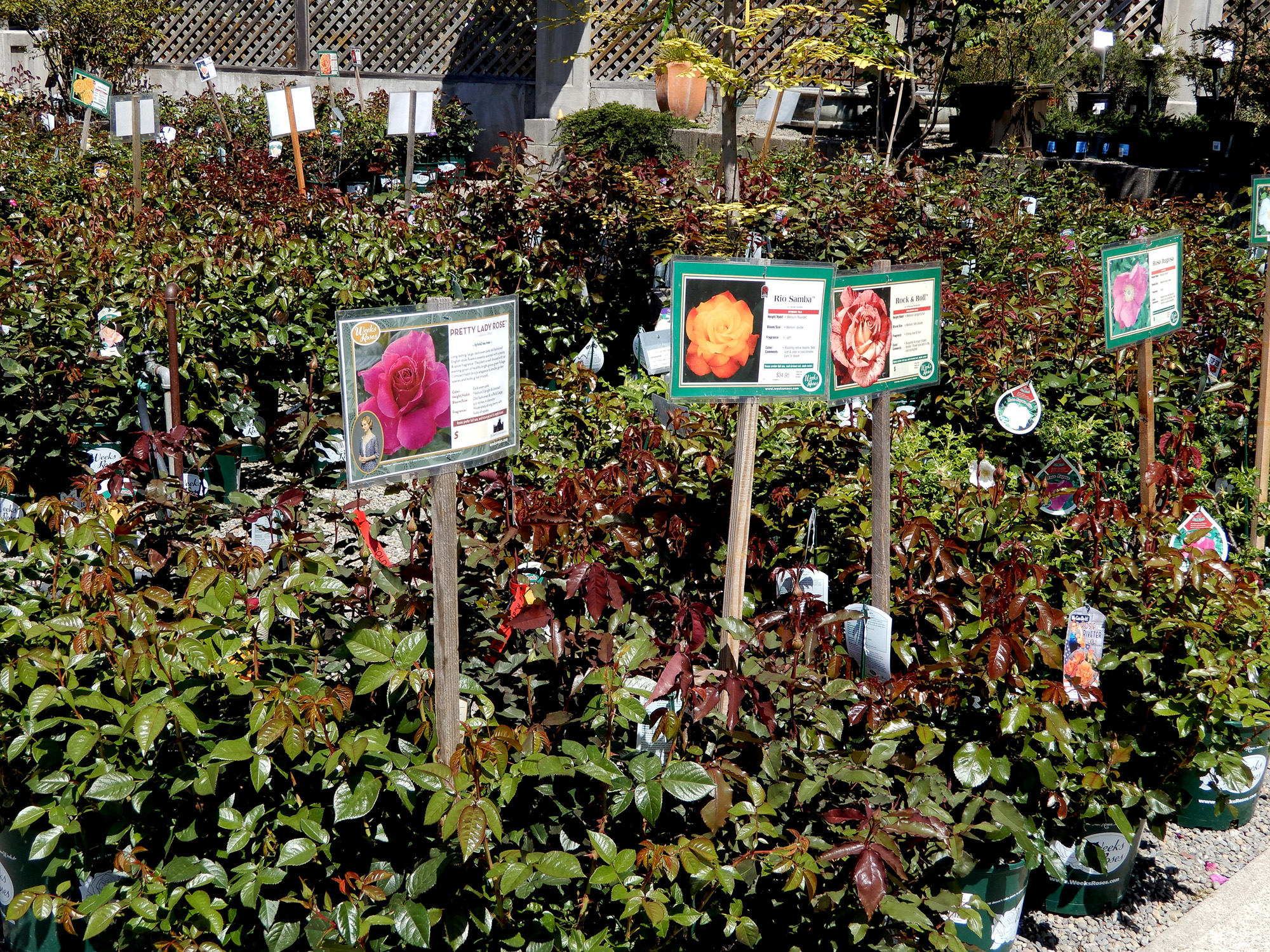 rose section - Berkeley Horticultural Nursery Berkeley Horticultural ...